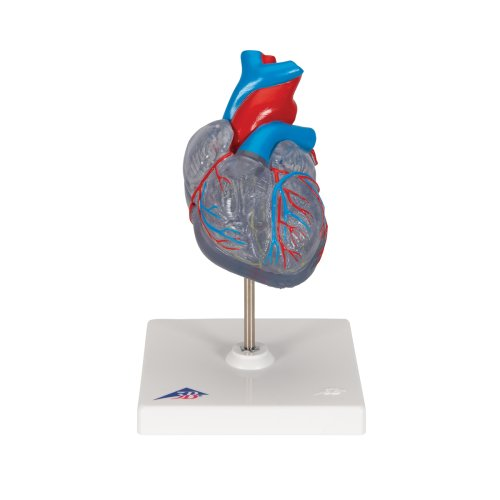 Classic Heart with Conducting System, 2-part (G08-3)