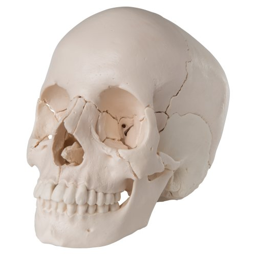 Beauchene Skull Model, Bone Colored, 22 part - 3B Smart Anatomy