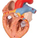 Heart Model with Esophagus and Trachea, 2x magnified, 5 part - 3B Smart Anatomy
