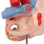 Herz-Modell mit Luft- und Speiseröhre, 2-fache Größe, 5-tlg - 3B Smart Anatomy