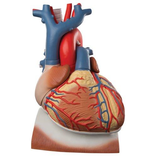 Herz-Modell mit Zwerchfell, 3-fache Größe, 10-tlg - 3B Smart Anatomy