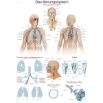 Chart The respiratory system
