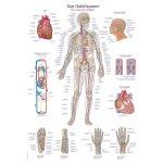 Chart The vascular system