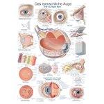 Chart The human eye