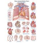 Chart The human heart