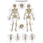 Chart The human skeleton