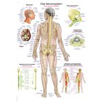 Chart The nervous system