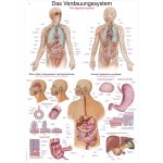 Chart The digestive system