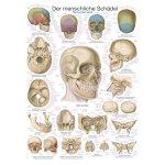 Chart The human skull
