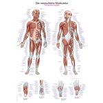 Chart The human muscles