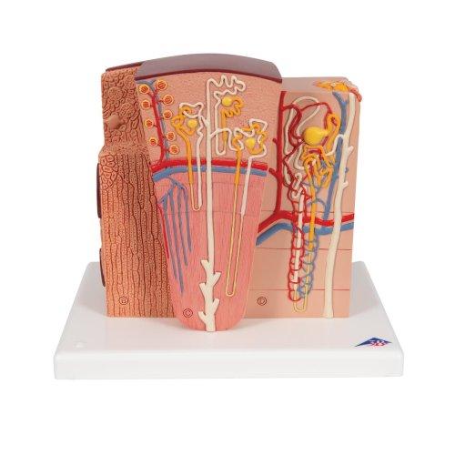 Kidney Model 3B MICROanatomy - 3B Smart Anatomy