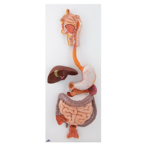 Verdauungsapparat-Modell, 3-tlg - 3B Smart Anatomy