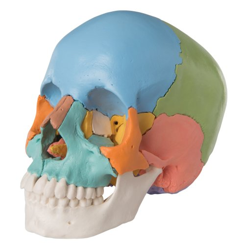 3B Scientific Skull Kit - Didactic Version, 22-part (A291)