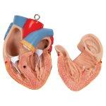 Torso Model, Unisex, 14 part - 3B Smart Anatomy