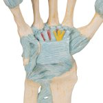 Hand Skeleton Model with Ligaments & Carpal Tunnel - 3B Smart Anatomy
