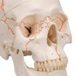 Skull Model, Numbered, 3 part - 3B Smart Anatomy