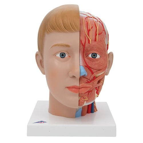Head Model with Neck, 4 part - 3B Smart Anatomy