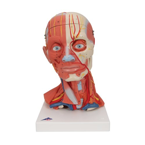 Head and Neck Musculature Model, 5 part - 3B Smart Anatomy