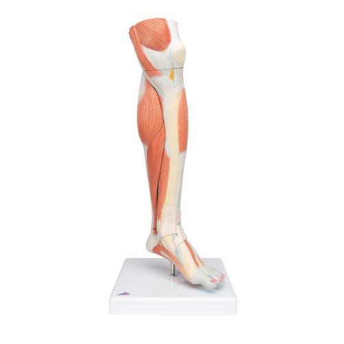 Beinmuskel-Modell des Unterbeins, 3-tlg - 3B Smart Anatomy