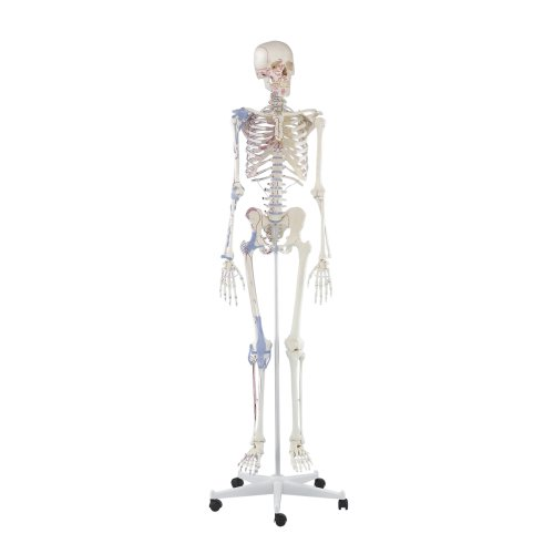 """Skeleton model """"Bert"""" with muscle markings and ligaments"""
