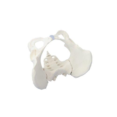 Female pelvis model with sacrum