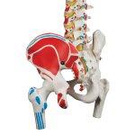 Wirbelsäulen-Modell mit Oberschenkelstümpfen & Muskelbemahlung - 3B Smart Anatomy