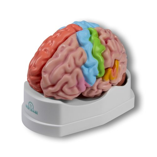 Functional and regional brain model, life-size, 5-parts