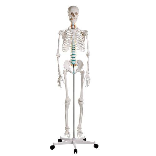 "Didactic skeleton model ""Oscar"""