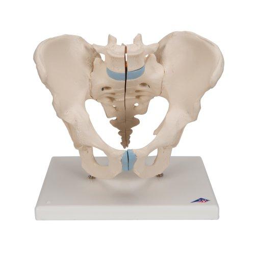 Becken-Modell, männlich, 3-tlg - 3B Smart Anatomy