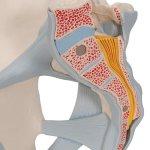 Pelvis Skeleton Model with Ligaments, Male, 2 part - 3B Smart Anatomy