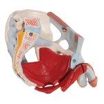 Becken-Modell, männlich mit Bändern, Gefäßen, Nerven, Beckenboden & Organen, 7-tlg - 3B Smart Anatomy