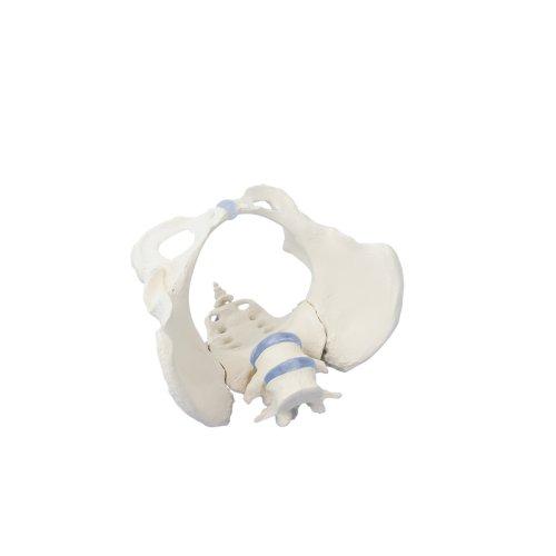 Weibliches Becken-Modell mit Kreuzbein und 2 Lendenwirbeln
