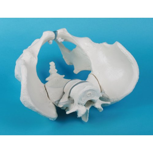 Männliches Becken-Modell mit Kreuzbein und 2 Lendenwirbeln