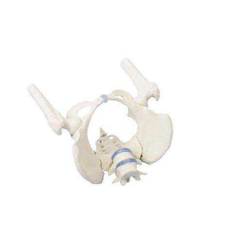 Female pelvis model with sacrum, 2 lumbar vertebrae and femoral stumps