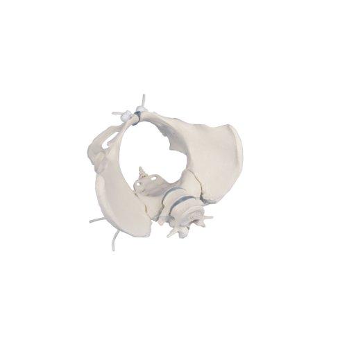 Weibliches Becken-Modell mit 2 Lendenwirbeln, flexibel