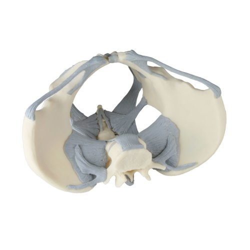 Female pelvis model with ligaments