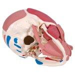 Schädel-Modell mit Gesichtsmuskulatur - 3B Smart Anatomy