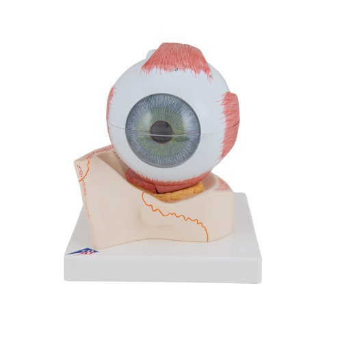 Eye Model, 5x magnified, 7 part - 3B Smart Anatomy