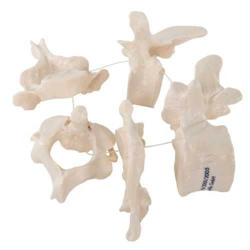 5 Wirbelmodelle, auf Nylonfaden - 3B Smart Anatomy