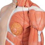 Torso-Modell, zweigeschlechtig mit Muskelarm, 33-tlg - 3B Smart Anatomy