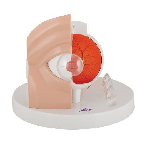 Pathological Eye Model - 3B Smart Anatomy