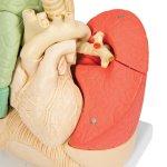 Lungen-Modell Segmentiert - 3B Smart Anatomy