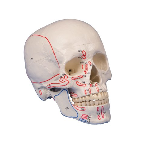 Skull model, 3 parts, with muscle marking