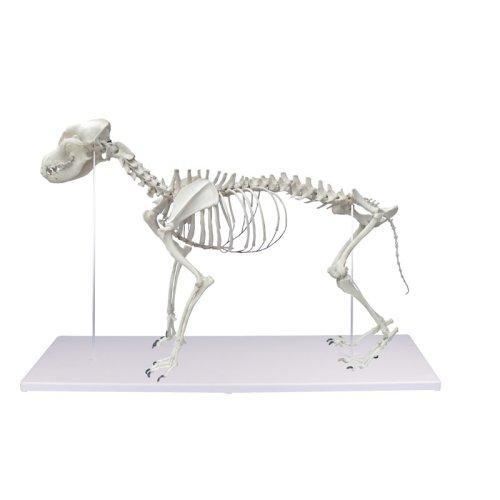 Dog Skeleton, life size
