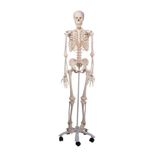 """Skelett-Modell """"Stan"""" - 3B Smart Anatomy"""
