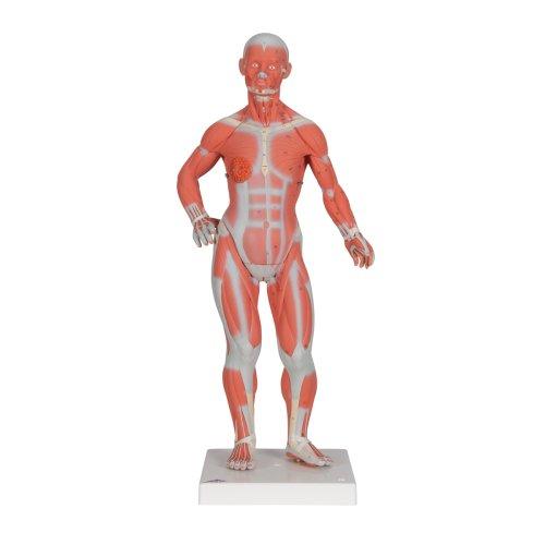 Muscle Figure, 1/3 Life-Size, 2 part - 3B Smart Anatomy