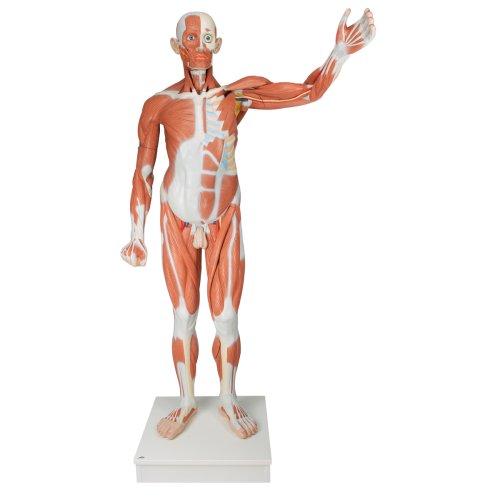 Muskelfigur, männlich 37-tlg - 3B Smart Anatomy