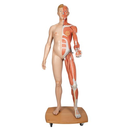 Muscle Figure, Dual Sex, Half Side with Muscles, 39 part - 3B Smart Anatomy
