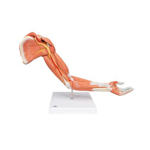 Muscle Arm Model, 6 part - 3B Smart Anatomy