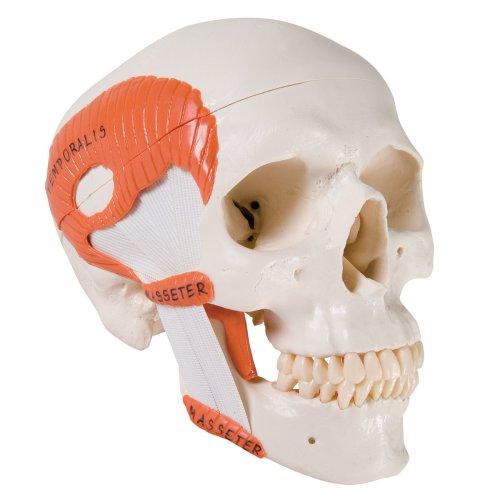Schädel-Modell mit Kaumuskulatur, funktionell, 2-tlg - 3B Smart Anatomy